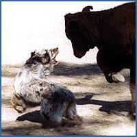 45 Ranch Bull